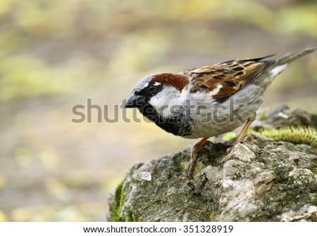 single sparrow sitting on a stone - stock photo