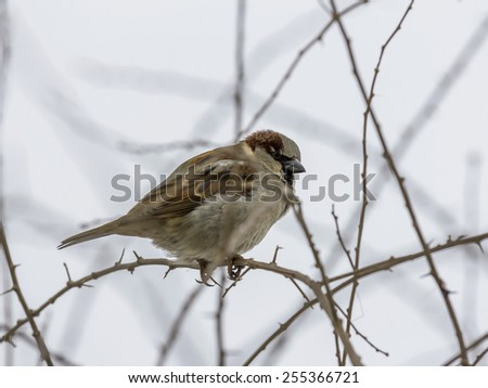 single sparrow sitting on leafless thorny twig, seen from side - stock photo