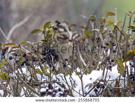 Single sparrow sitting on snow-covered twigs with smeared berries in its beak  - stock photo