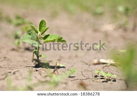 """Single sprout in focus along a row of spring crop soybeans in near drought conditions. A challenge to spring-time soybean crops  also known as """"Glycine max"""" - stock photo"""
