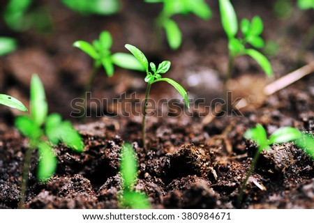 Single sprout of tomato in earth - stock photo