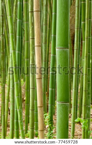 single stalk of fresh spring bamboo showing other growing bamboo in the background. - stock photo