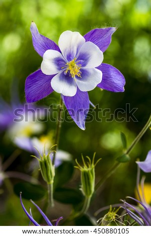 Single stem of blue columbine flower bloom with two unopened buds - stock photo