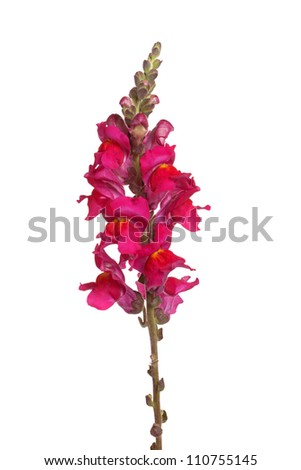 Single stem with red and yellow flowers of snapdragon (Antirrhinum majus) isolated against a white background - stock photo