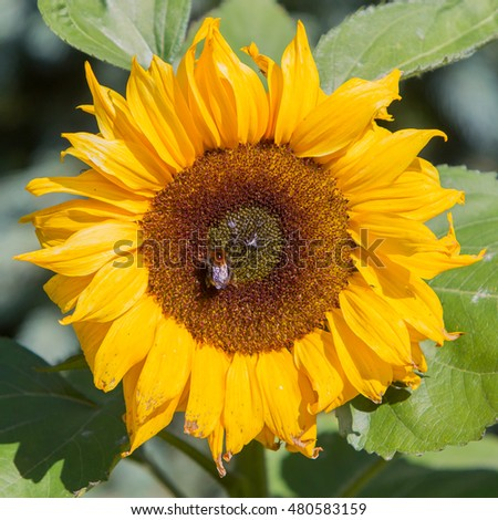 Single sunflower blooming - One of earth largest flowers
