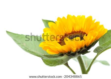 single sunflower isolated on white - stock photo