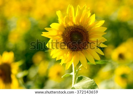 Single Sunflower standing tall over field of many sunflowers - stock photo