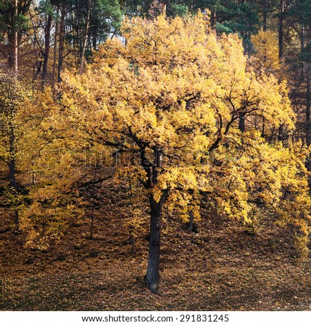 Single tree in autumn forest. Beauty nature background - stock photo