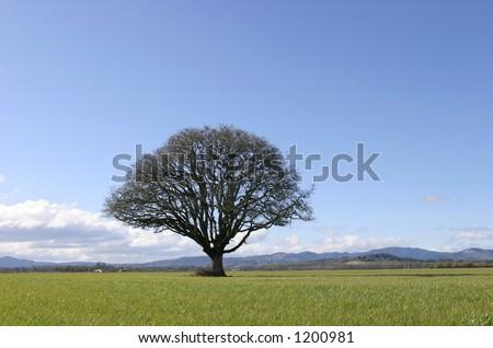 Single Tree in Field - stock photo