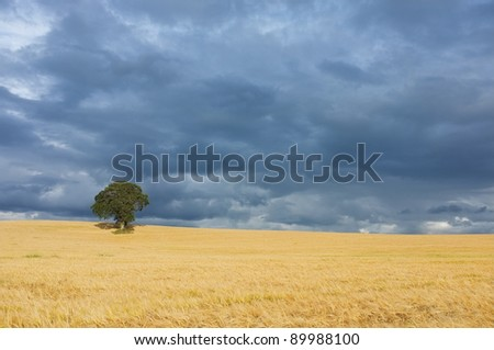 Single tree in field of barley with blue sky - stock photo