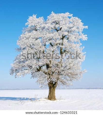 Single tree in frost - stock photo