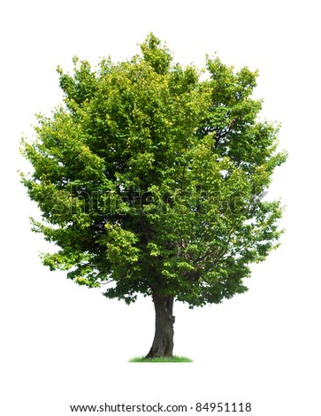 Single tree isolated on white background - stock photo