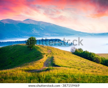 Single tree on blooming hills of Carpathian mountains. Colorful summer scene with rolling hills and valleys in golden morning light. Morning landscape with country road. - stock photo