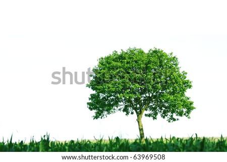 Single tree on white background - stock photo