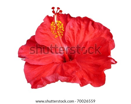 Single Tropical Red Hibiscus Flower Isolated on White - stock photo