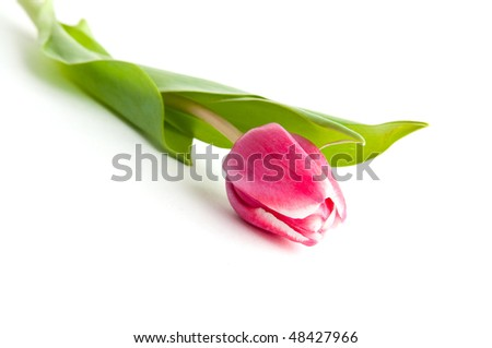 single tulip flower white isolated