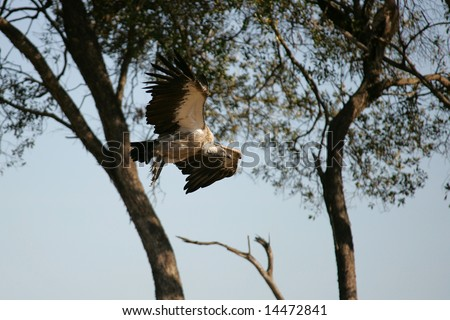 Single Vultures coming in to feed on  the remains of a wildebeest - stock photo