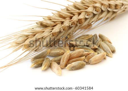 Single wheat - corn spike close up and corns / seeds macro view over white background