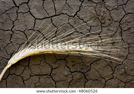 Single wheat ear on dry soil background - stock photo