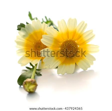 Single White Chrysanthemum Flower with Yellow Center Isolated over White Background. Beautiful Dahlia Flowerhead Macro - stock photo