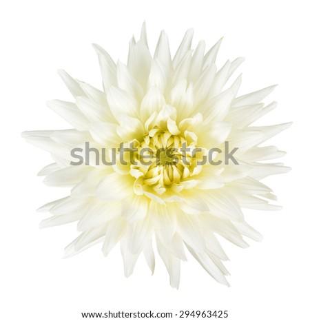 single white dahlia flower isolated on white background - stock photo