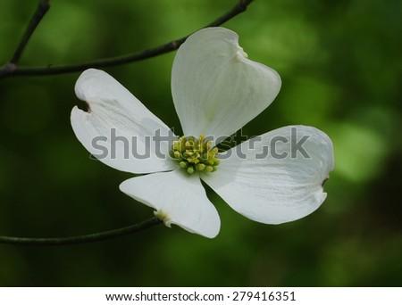Single white flower of the ornamental dogwood tree, cornus - stock photo