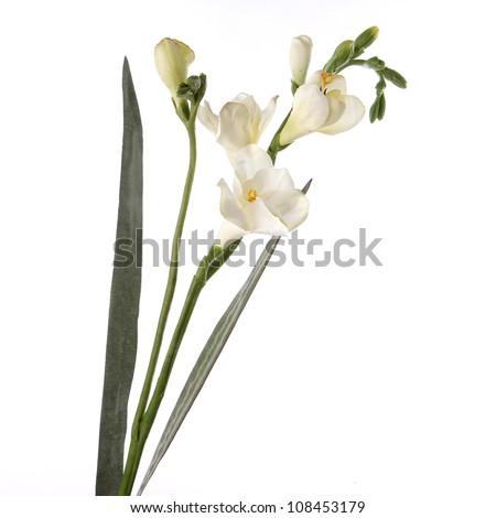 single white fresia isolated on white background - stock photo