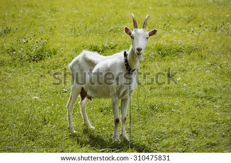 Single White Goat at Green Grass - stock photo