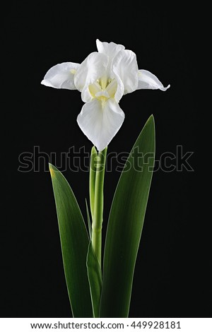 white iris stock images, royaltyfree images  vectors  shutterstock, Beautiful flower