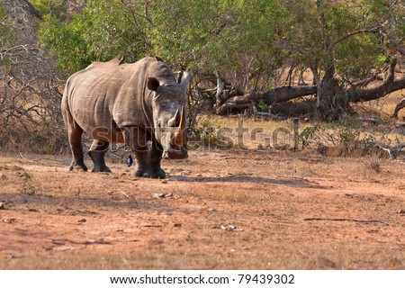 single white rhinoceros in the Kruger National Park, South Africa - stock photo