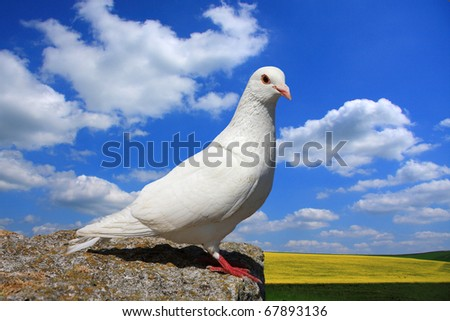 Single white rock dove perched on a ledge overlooking a peaceful summer agricultural landscape - stock photo
