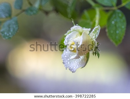 Single white Rose in a garden