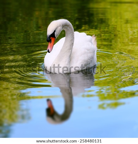 Single white swan in a lake reflective water square composition - stock photo