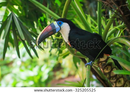 Single White-throated toucan ( tucan) bird sitting on a branch in natural surroundings - stock photo