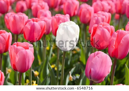 Single white tulip circled with pink neighbours - stock photo