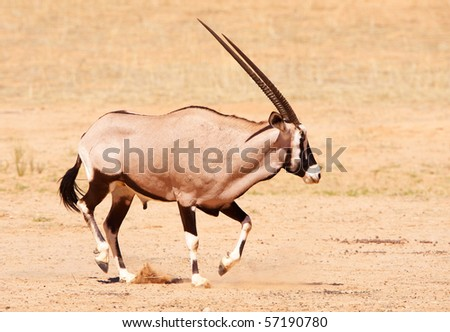 Single wild Gemsbok (Oryx Gazella) standing in the nature reserve in South Africa
