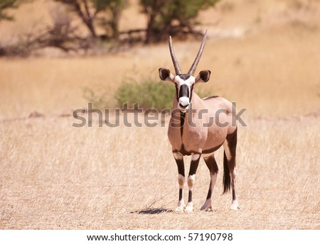 Single wild Gemsbok (Oryx Gazella) standing in the nature reserve in South Africa - stock photo