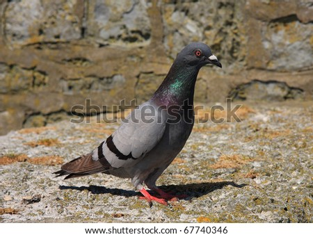 Single wood pigeon - stock photo