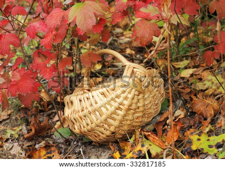 single wooden wicker basket stands under varicolored maple leaves in the forest to collect mushrooms, berries and fruit in autumn scenery - stock photo