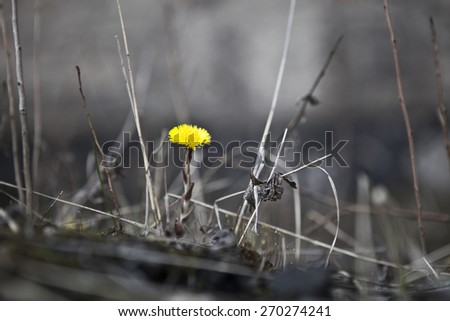 Single yellow dandelion flower in a wasteland standing out - stock photo