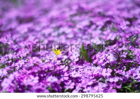 Single yellow flower among bright violet flowers (as a blurred floral background) - stock photo
