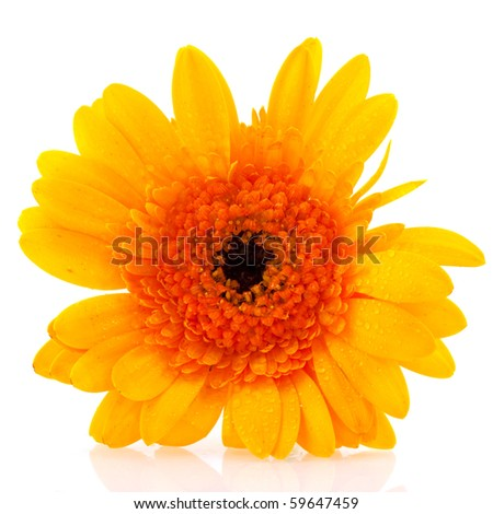 Single yellow Gerber flower isolated over white
