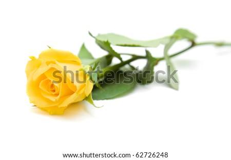 single yellow rose; isolated on white background; - stock photo