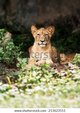 Single young male lion in the forest - stock photo