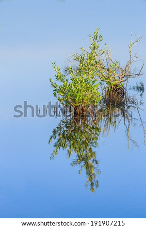 Single young mangrove growing in Florida wetlands - stock photo