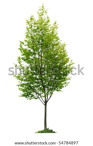 Single young tree with green leaves isolated on white background - stock photo