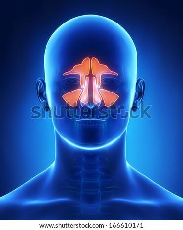 Sinuses anatomy - stock photo