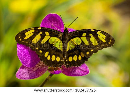 Siproeta stelenes butterfly on the orchid flower - stock photo