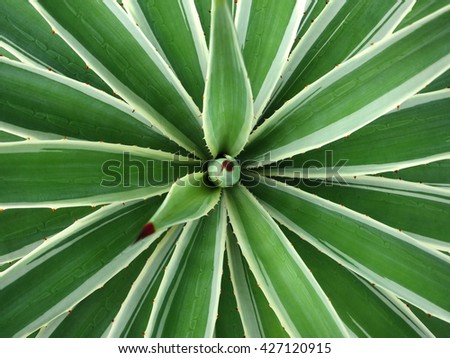 Sisal agave in Inhambane, Mozambique, Southern Africa  - stock photo