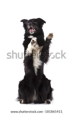 Sit pretty border collie - stock photo